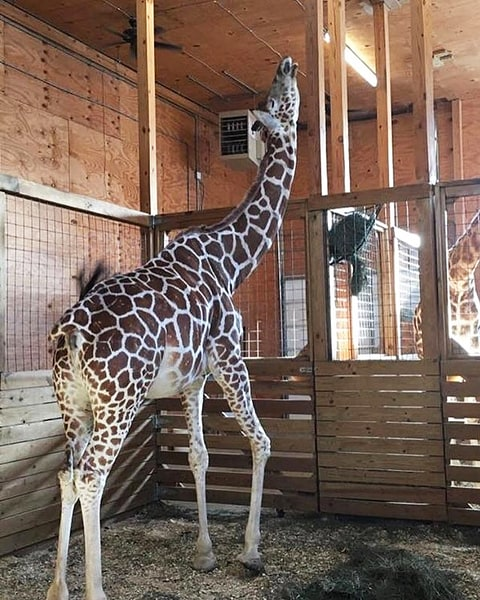 Giraffe Watch: April closer to labor, baby calf 'sticking out'
