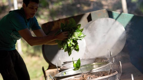 In this June 22, 2016 photo, Raimundo Sidnei throws Chacrona leaves (Psychotria viridis ) into tea brewing cauldrons, in Ceu do Mapia, Amazonas state, Brazil. Chacrona is one of the ingredients for making an ancient psychedelic tea locals know as the Holy Daime.