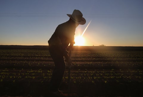 A migrant worker cultivates lettuce in Southern California.