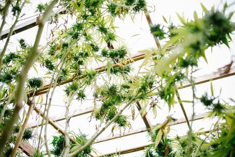 marijuana, weed farm