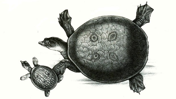 Ganges soft-shell turtles.