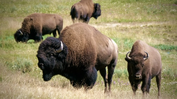 Bring back the bison.