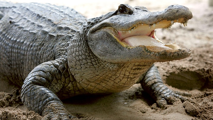 why you don t want an alligator for a pet advice from an