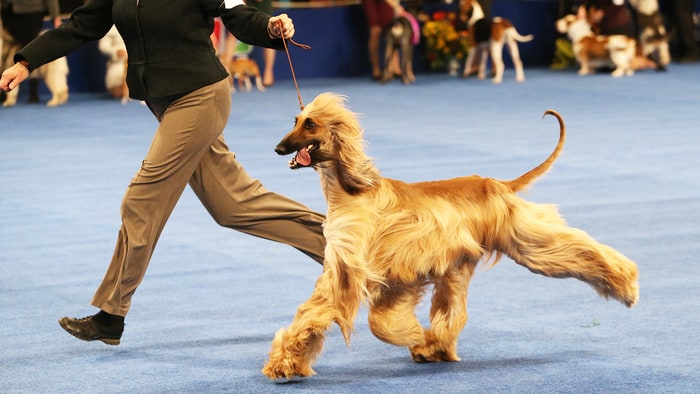 What Timedoes Dog Show Start
