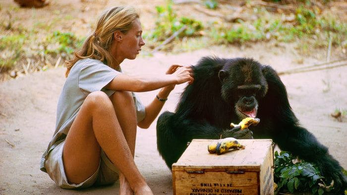 a review of the story of jane goodall in the movie among the wild chipanzees Animal activist jane goodall collaborated with disney on the new movie chimpanzee the film tells the story of an jane goodall institute to protect wild chimpanzees.
