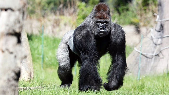 Gorilla on the loose at London Zoo, visitors say