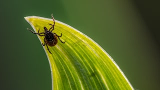 Ticks Are This Summer's Biggest Health Risk