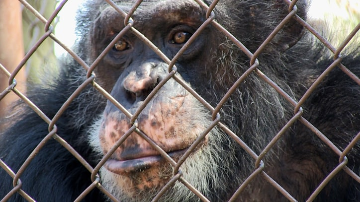 The True Story of 'Unlocking the Cage': The Latest Fight for Animal Rights