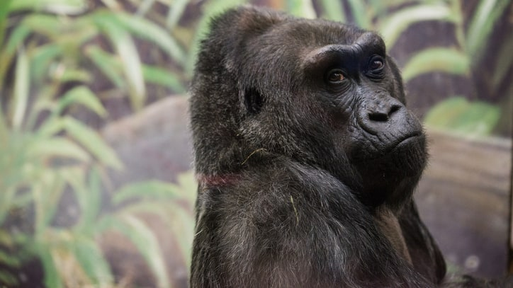 Colo at 60: What We Can Still Learn from the World's Most Famous Gorilla