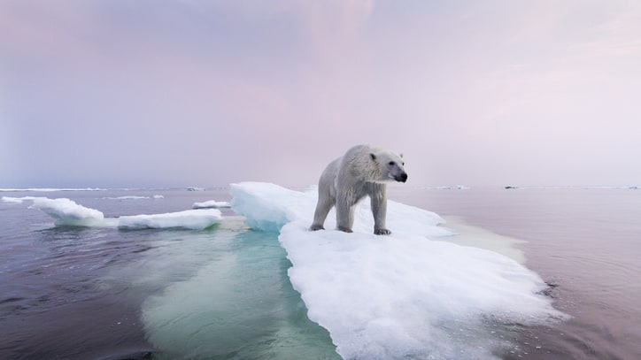 Plight of the Polar Bear: