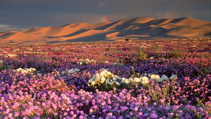 A 'Super Bloom' Is Hitting California Deserts. Here's How to Take Advantage