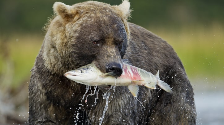 Bears Kill a Lot More Prey Than We Thought