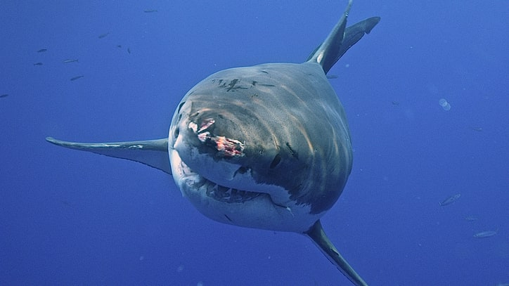 Why Are There Suddenly So Many Great White Sharks Off Cape Cod?