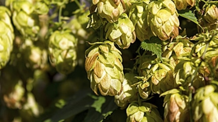A Beer Drinker's Guide to Hops
