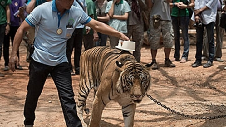 Exposed: A Monastery's Black-Market Tiger Trade