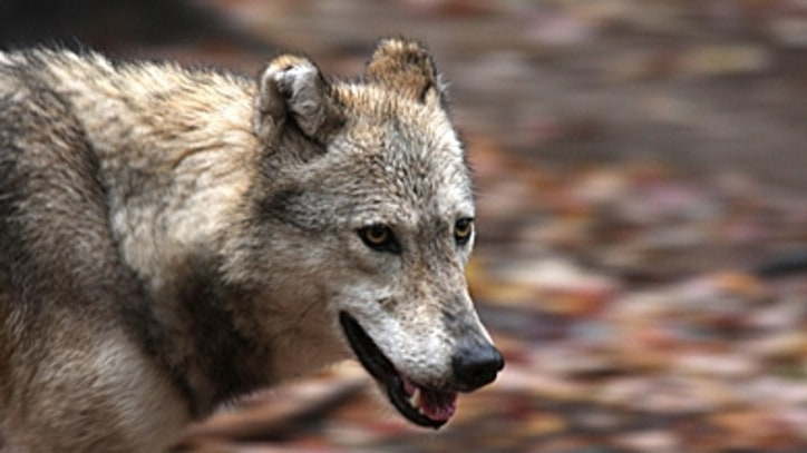 Should Scientist Save Michigan's Isle Royale Wolf Pack?