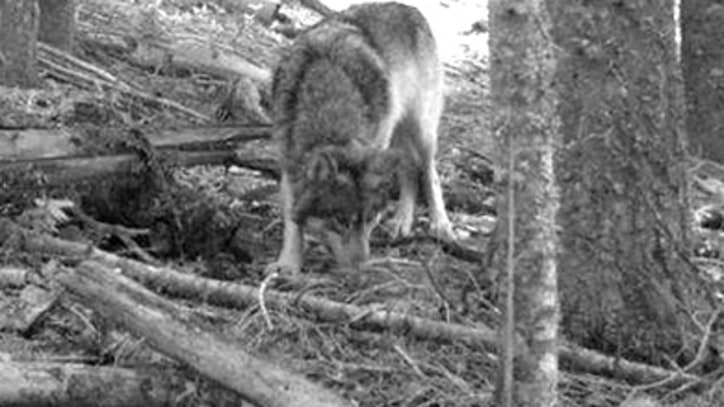 Stalking Oregon's 'Lone Wolf' Before He Disappears
