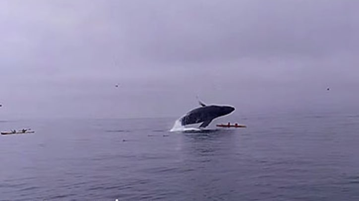 Watch Two Kayakers Nearly Get Crushed by a Humpback Whale