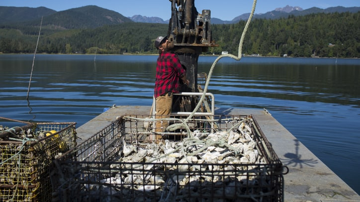Discovering the Odd Life of Pacific Northwest Oysters – and Those Who Farm Them