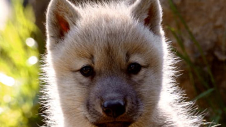 Congress Yanks Protection for Endangered Gray Wolf