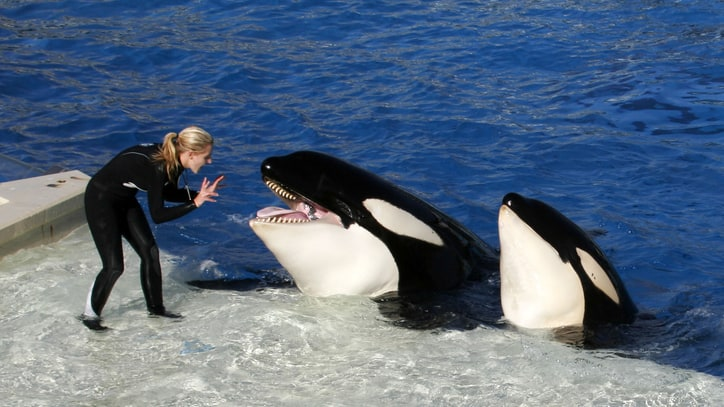 SeaWorld to Stop Breeding Killer Whales