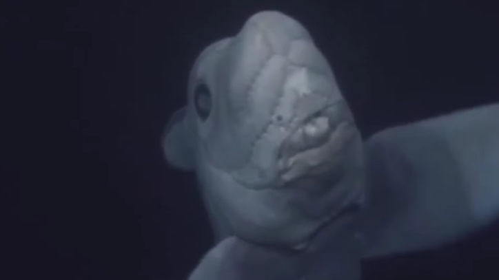 What, Exactly, Is a Ghost Shark?