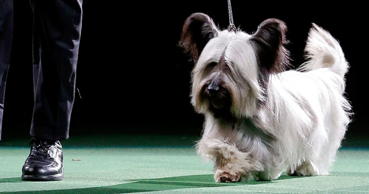 Charlie The Skye Terrier Wins 2015 National Dog Show Us