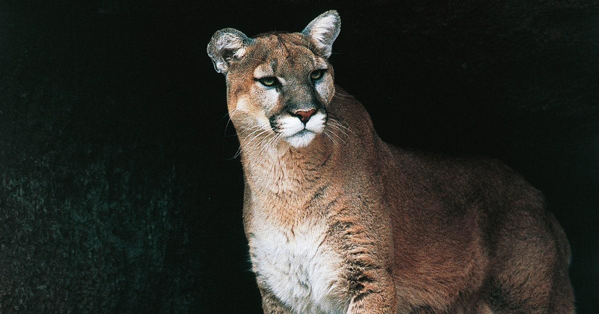 B Mobile Mountain Lion Mom Fights Off Mountai...