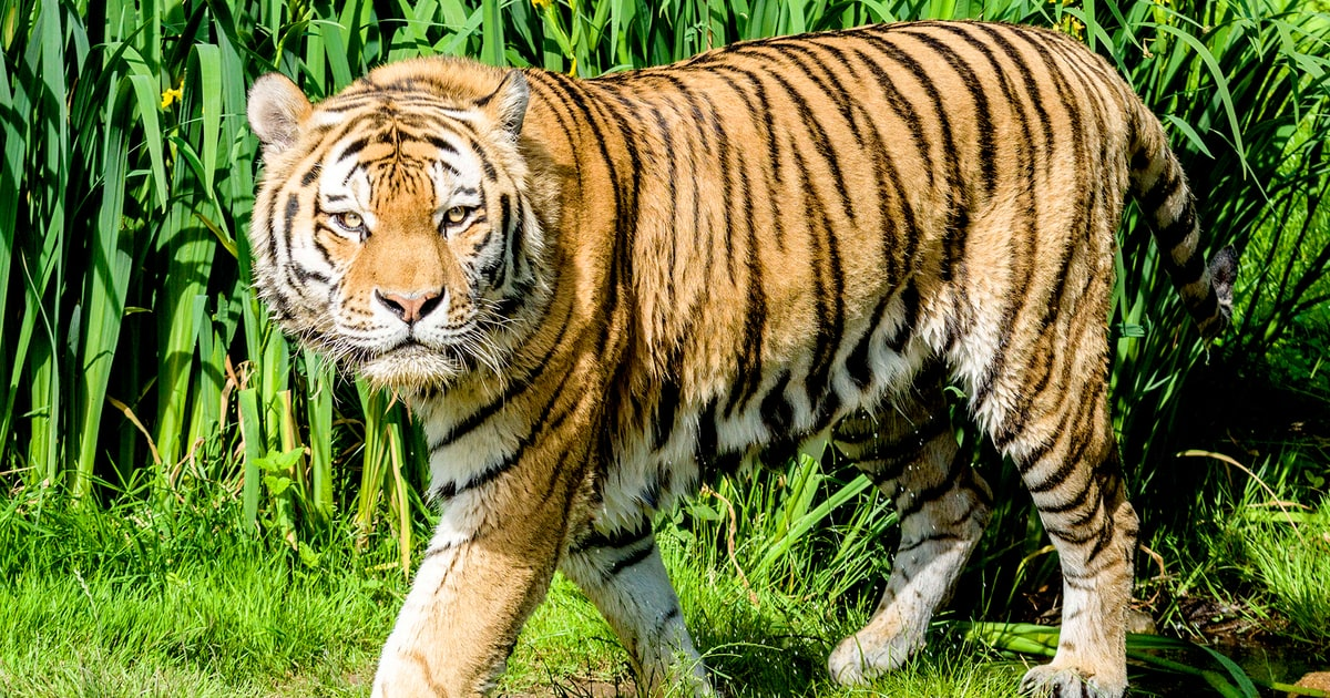 Tiger Attack at Wildlife Park Leaves One Dead - Us Weekly