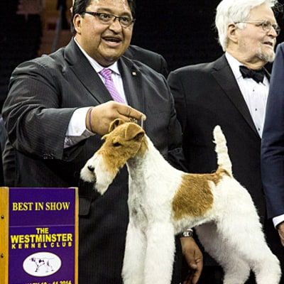 Westminster Dog Show 2014: Wire Fox Terrier Named Sky Wins Best in Show