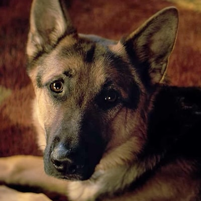 'A Dog's Purpose': 'Disturbing' Set Video of German Shepherd in Distress Sparks Outrage, Response from Cast, Crew