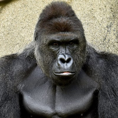 Cincinnati Zoo Kills Gorilla to Save 4-Year-Old Boy Who Fell Into Enclosure, Child Expected to Recover