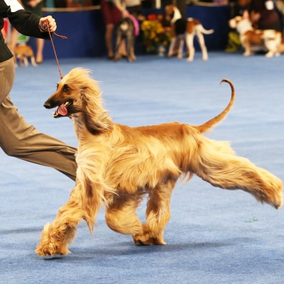 National Dog Show 2016: What Time Does It Start? Plus, Where to Watch and Stream