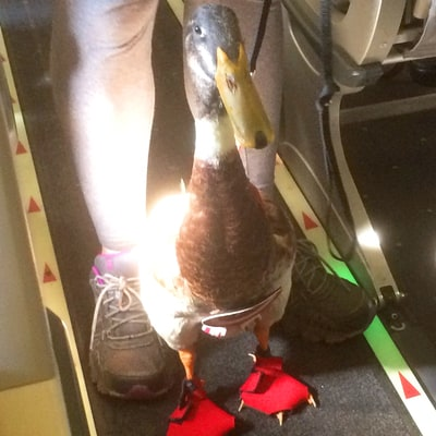 This Is What a Duck Wears to Fly on a Plane