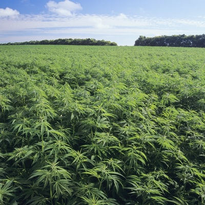 Was Marijuana the Original Cash Crop?