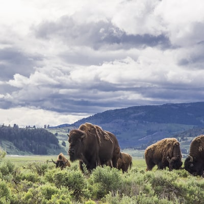 Why The Bison is About to Become Our New National Mammal