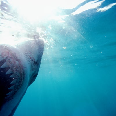 5 Shark Myths Debunked for Shark Week