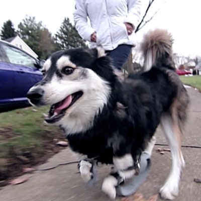 A Dog Walks (And Runs) for the First Time, Thanks to 3D Printing