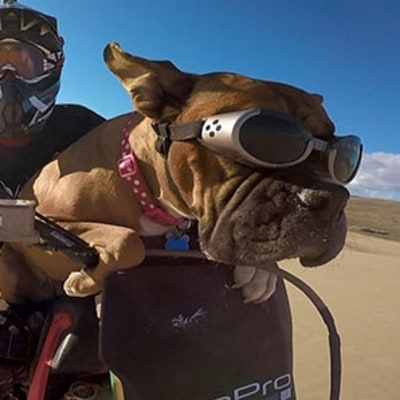 Watch This Dog Ride Sand Dunes on a Dirt Bike