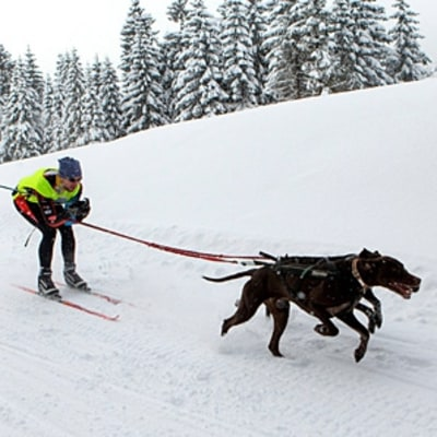 The Ancient Snow Sport for Dogs
