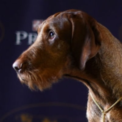 Your Next Best Friend: The Newest Breeds at the Westminster Dog Show