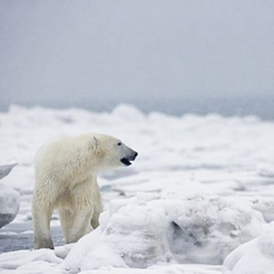 On North Pole Expedition, A Brush with Polar Bears