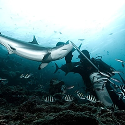 Shark Diving Without the Cage