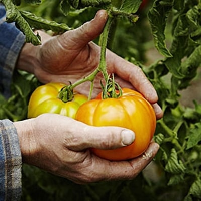 How to Pick Perfect Tomatoes