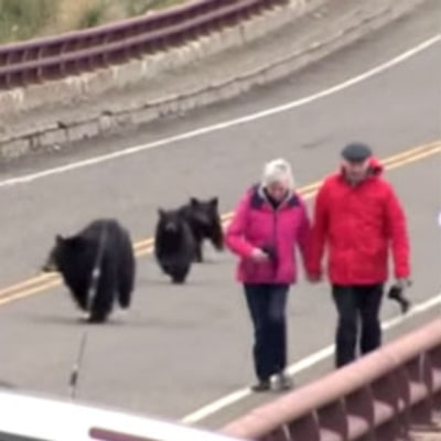 Watch a Yellowstone Black Bear Clear Tourists From Her Cubs' Path