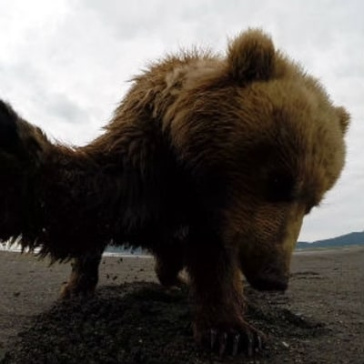 Watch What It's Like to Get Slapped By a Grizzly Bear
