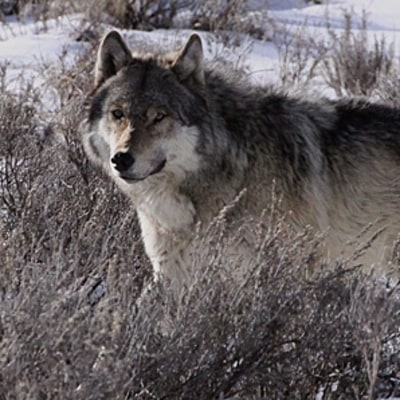 Yellowstone's Wild Gray Wolves