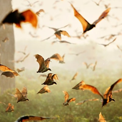 Zambia's Great Fruit Bat Migration