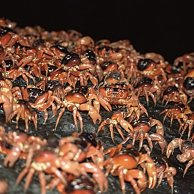 Caribbean Crab Migration