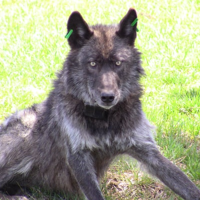 The Life and Legacy of OR4, Oregon's Most Celebrated Wild Wolf